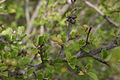 Grewia robusta03.jpg