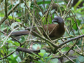 Grey-headed-chacalaca.png