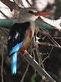 Grey-headed Kingfisher Halcyon leucocephala in Tanzania 2211 cropped Nevit.jpg