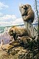 Grizzly Bear Ursus Arctos Horribilis (42270416).jpeg