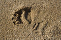 Grizzly bear track FWS 1682.jpg