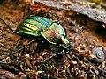 Ground Beetle (Tachypus cancellatus) found in deadwood (8333877861).jpg