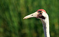 Grus americana -International Crane Foundation, Baraboo, Wisconsin, USA -head-8a.jpg
