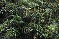 Gunung Murud logging road N. stenophylla N. fusca 17.jpg