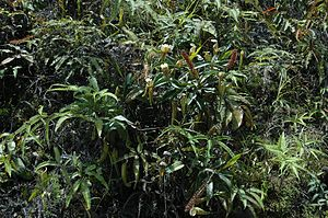 Nepenthes fusca - Nepenthes fusca, N. reinwardtiana, and N. stenophylla growing in an exposed site along a logging road to Mount Murud in Sarawak