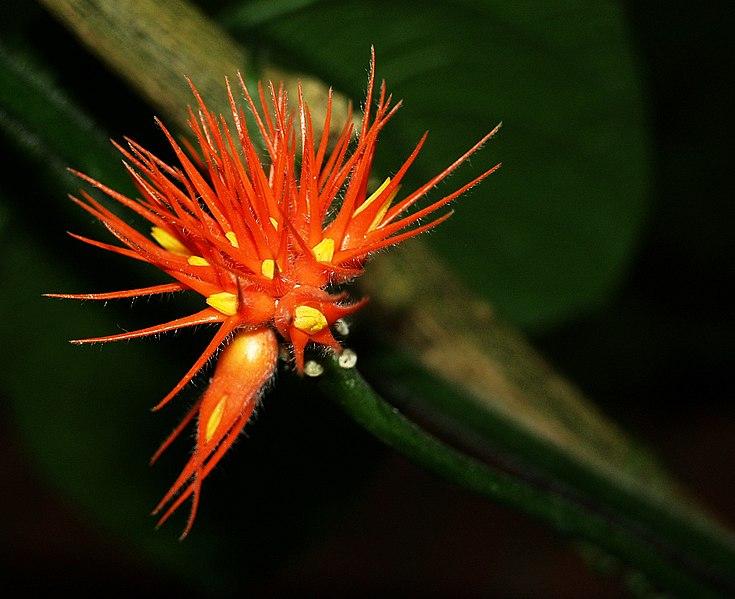 File:Gurania malacophylla (flower) - Botanical Garden Cologne.jpg