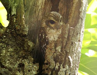 Bare-legged owl - Image: Gymnoglaux lawrencii