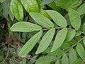 HK Calliandra haematocephala 朱纓花 plant 含羞草科 flower 紅絨球 豆科朱纓花屬 King Man Chan 2016 (8).jpg