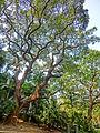 HK TST 尖沙咀 Haiphong Road 海防道 34 Camphora tree Mar-2013.JPG