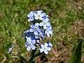Hackelia floribunda (7977086114).jpg