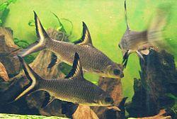 Haibarben (Balantiocheilos melanopterus).   jpg