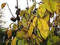 Halesia tetraptera 4zz.jpg