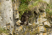 Immature (second or third year) Bald Eagle in Alaska