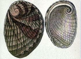Haliotis australis 001.jpg