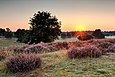 "Sunrise in the nature reserve ""Westruper Heide"" at the flowering of the heath, Haltern am See, North Rhine-Westphalia, Germany"