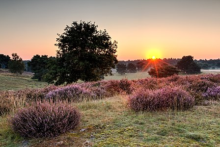 "Nature reserve ""Westruper Heide"" at the flowering of the heath, Haltern am See, North Rhine-Westphalia, Germany"