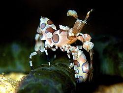 Harlequin Shrimp 1.jpg
