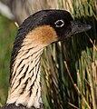 Hawaiian Goose Head (6354268301).jpg