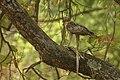 Hawks (Nagzira) India.jpg