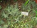 Hebe epacridea - Berlin Botanical Garden - IMG 8755.JPG