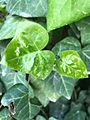 Hedera - New leaves.jpg