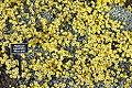 Helichrysum argyrophyllum 'Moe's Gold' - Mendocino Coast Botanical Gardens - DSC02328.JPG