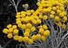 Helichrysumthianschanicumicicles