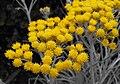 Helichrysumthianschanicumicicles.jpg