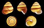 Helicostyla annulata 02.JPG