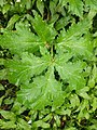 Heracleum mantegazzianum 126663732.jpg