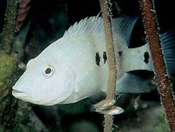 Minkley's cichlid httpsuploadwikimediaorgwikipediacommonsthu