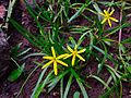Heteranthera dubia - Grassleaf Mudplantain.jpg