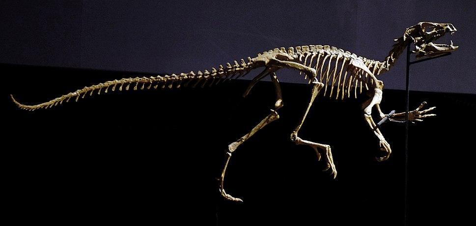 Heterodontosaurus skeleton