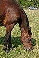 Hevoset kesälaitumella 13.jpg