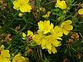 Hibbertia calycina.jpg