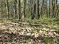 Hierochloe australis sl52.jpg
