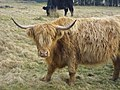 Highland Cattle, Gleniffer Braes Country Park, Renfrewshire. (time to start running) - panoramio.jpg