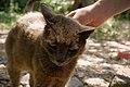 Hill Cat (5949584612).jpg