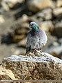 Hill Pigeon (Columba rupestris) (33645656783).jpg