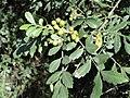 Hippobromus pauciflorus, vrugte, Bisleyvallei.jpg