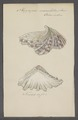 Hippopus maculatus - - Print - Iconographia Zoologica - Special Collections University of Amsterdam - UBAINV0274 077 05 0002.tif