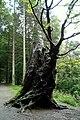 Hollow Beech Stump - geograph.org.uk - 964636.jpg