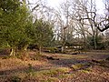 Holly and oaks in Gritnam Wood, New Forest - geograph.org.uk - 122983.jpg