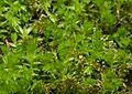 Horn Calcareous Moss (Mnium hornum) (13564187564).jpg