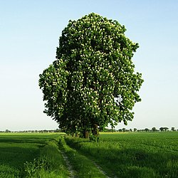Horse-chestnut-1-.jpg