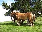 """Horses near """"col de Pailhères"""".JPG"""