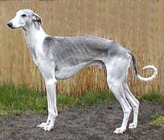 Hortaya borzaya - Adult male grey and white piebald Hortaya borzaya