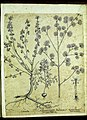 Hortus Eystettensis, Vorzeichnungen (MS 2370 2952863) -Hyberna,1,7.jpg