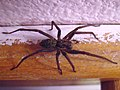 House spider from above.JPG