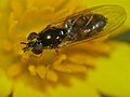 Hover Fly (Platycheirus sp.) (14085494403).jpg